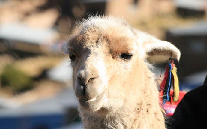 Alpaka schaut in Kamera