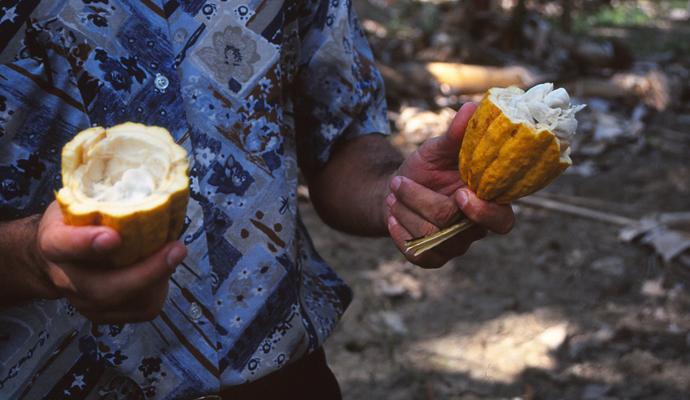 Offene Kakaobohnen
