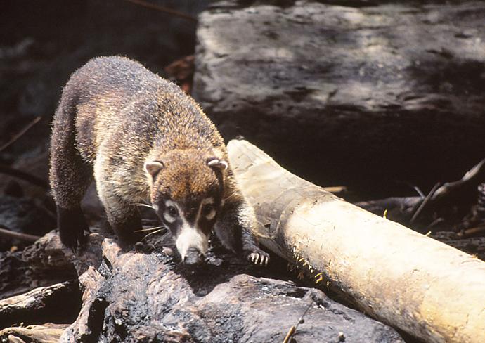 Nasenbär im Nationalpark Manuel Antonio