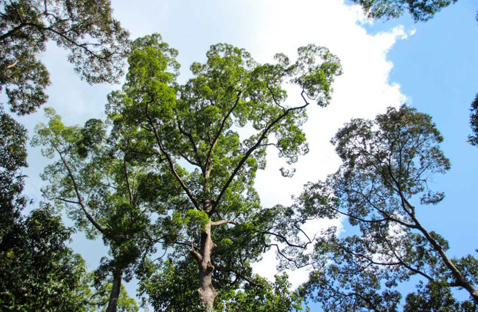 Borneo Regenwald