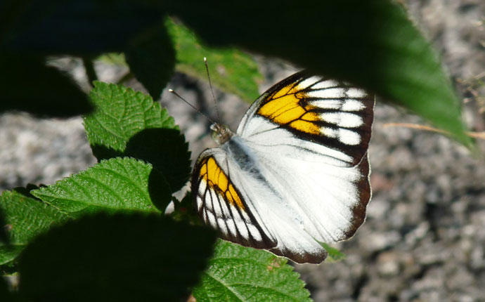 Schmetterling Indonesien