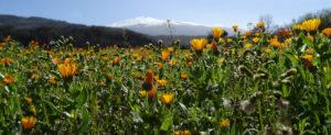 Blumenwiese vor dem Vulkan Etna in Sizilien