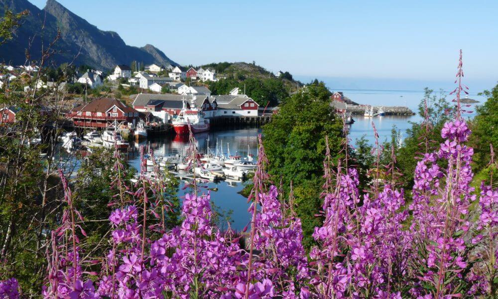Dorf auf den Lofoten hinter lila Blumen