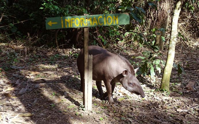 Tapir im Regenwald in Bolivien