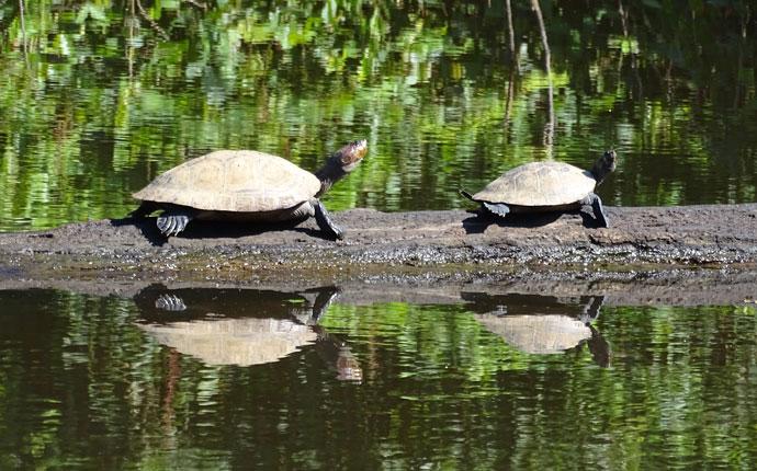 Pampa Schildkröten