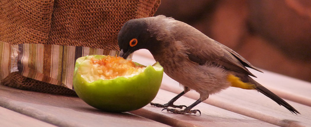 Vogel klaut Frucht