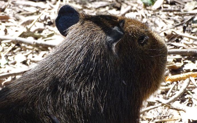 Capybara Bolivien