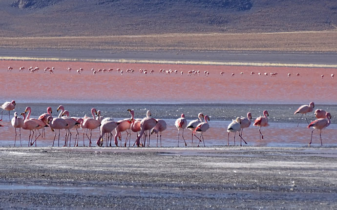 Laguna Colorada Flamingos
