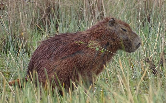 Wasserschwein Bolivien