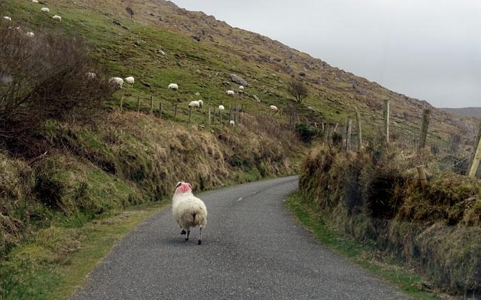 Schaf auf einer Straße in Irland