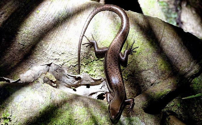 Salamander am Amazonas