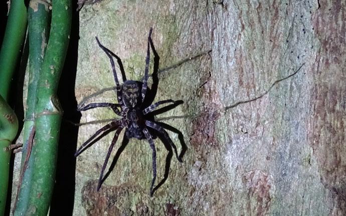Spinne im Regenwald ama Amazonas