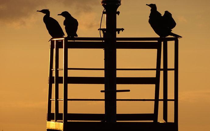 kormorane-zeeland