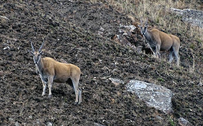 Zwei Elands in Südafrika