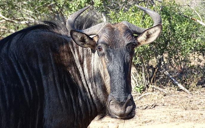 Ein Streifengnu in Südafrika