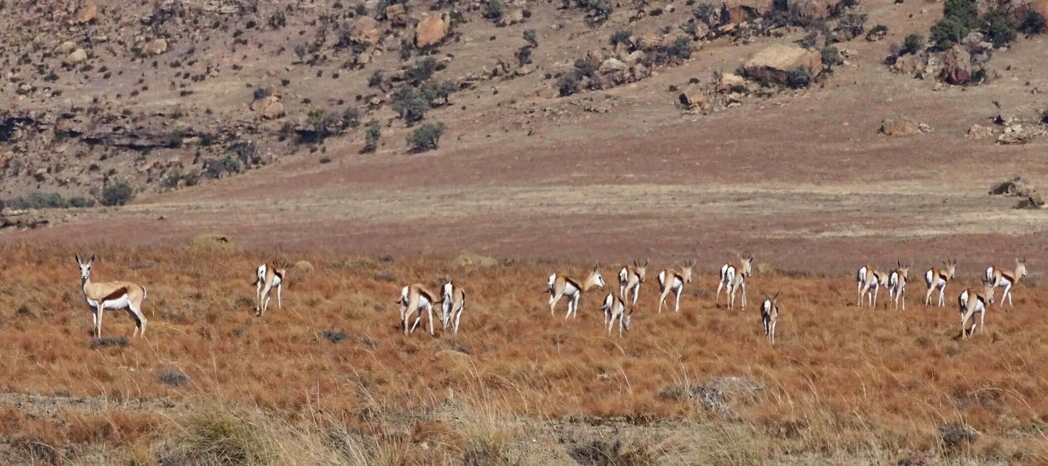 Impalas: Antilopen in Südafrika