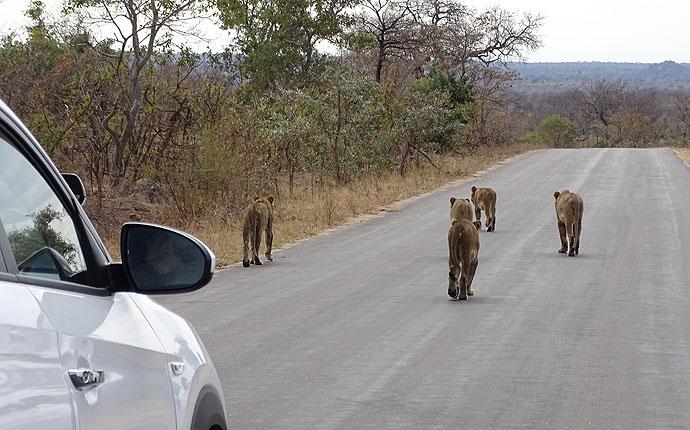 Löwen laufen über die Straße in Südafrika