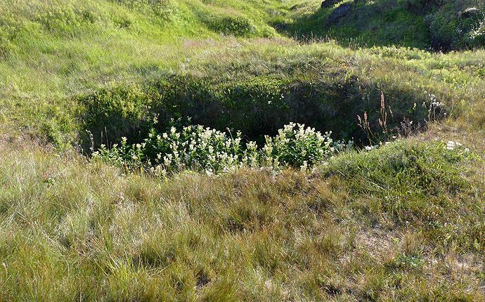 Blumen auf Snaefelsnes