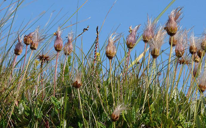 Pflanzen auf Snaefelsnes