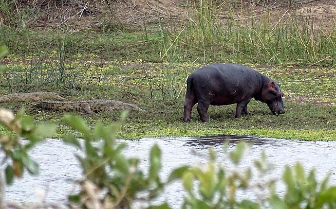 Krokodil und Flusspferd im Krüger Nationalpark
