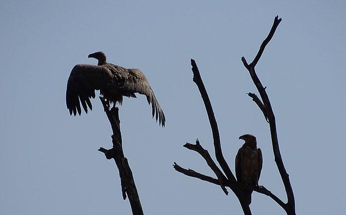Geier und Adler im Krüger Nationalpark