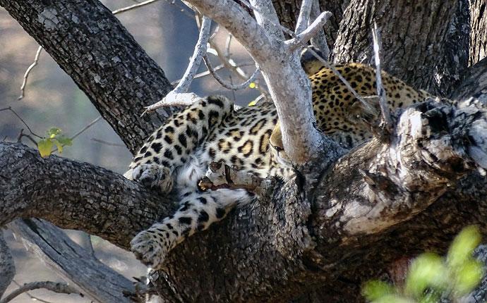 Leopard im Krüger Nationalpark