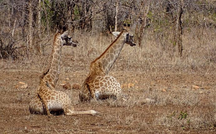 Liegende Giraffen auf der Selbstfahrer-Safari