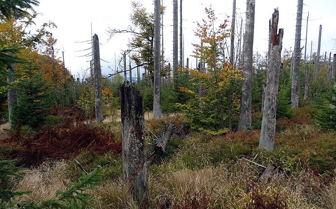 Ein Jungwald aus Kiefern wächst in einem Totwald