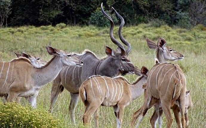 Kudufamilie auf der Selbstfahrer-Safari