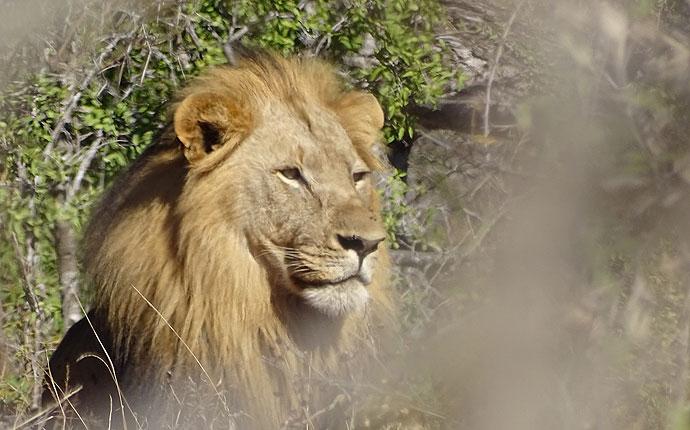 Löwe auf der Selbstfahrer-Safari