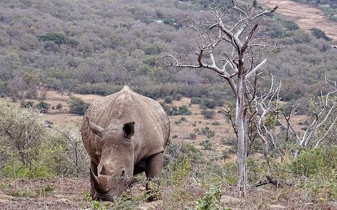 Nashorn auf der Selbstfahrer-Safari