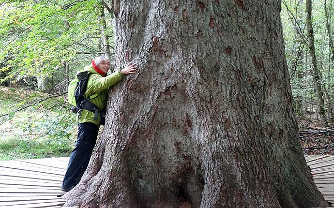 Frau umarmt Riesentanne im Wald
