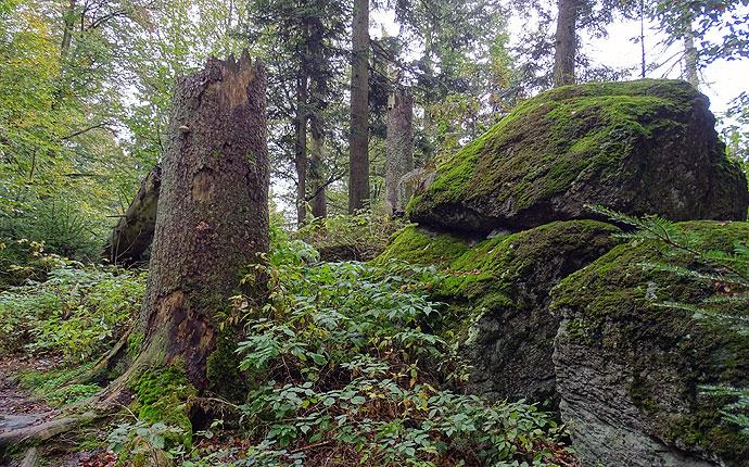 Im Wald: ein Baumstumpf am Felsen