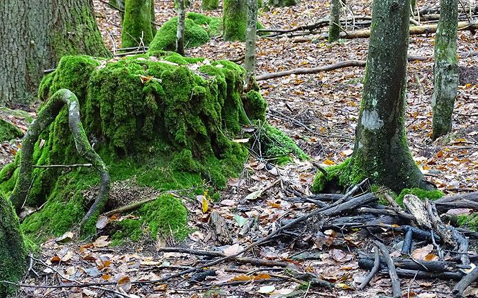 Im Wald: ein bemooster Baumstumpf