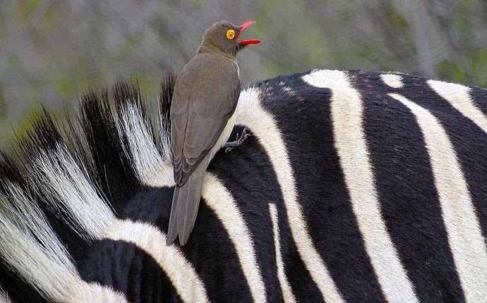 Vogel auf Zebrarücken auf der Selbstfahrer-Safari
