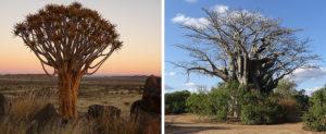 Namibia oder Südafrika? Köcherbaum und Baobab