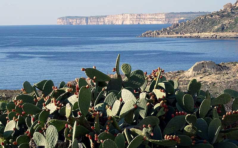Blick übers Meer auf Malta, mit Kakteen und Steilfelsen