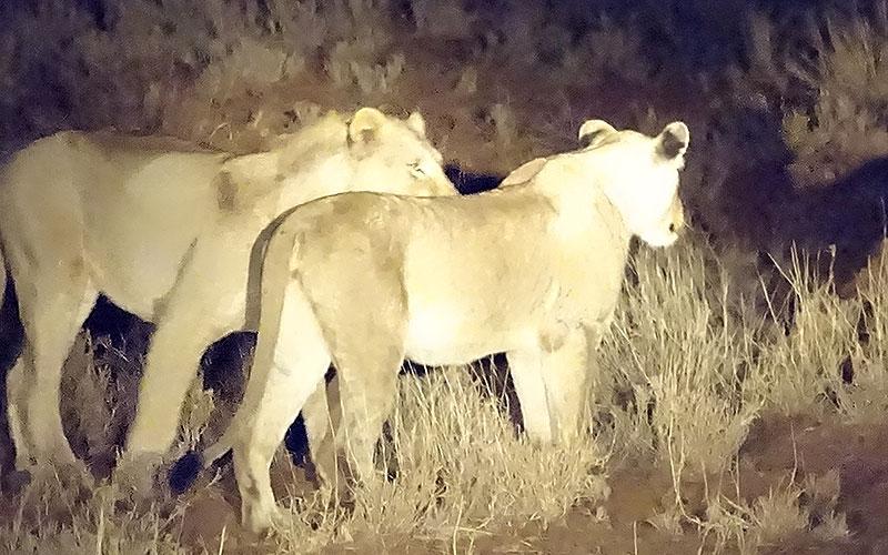 Zwei Löwen bei einer Nachtfahrt im Krüger Nationalpark