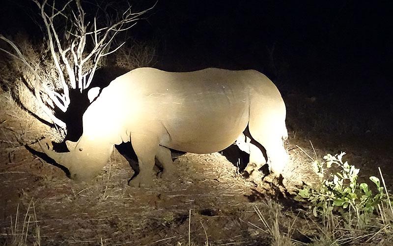 Nashorn bei einer Nachtfahrt im Krüger Nationalpark