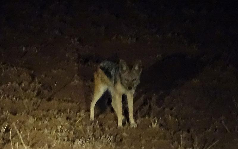 Schakal bei einer Nachtfahrt im Krüger Nationalpark