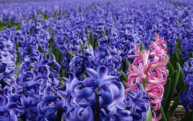 Blaue Hyazinthen und eine rosafarbene in Holland