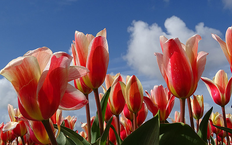 Rosa Tulpen vor Himmel in Holland