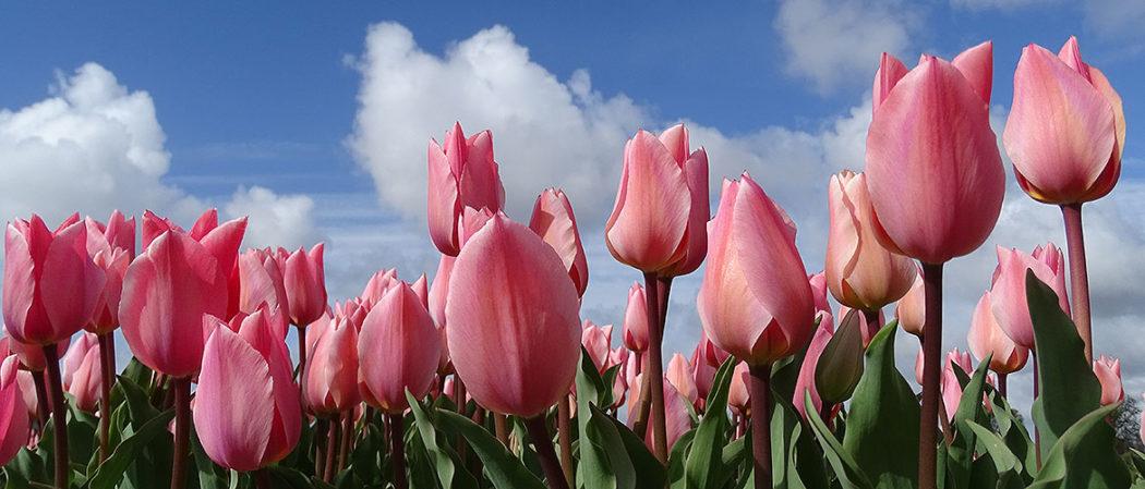 Rosa Tulpenblüte in Holland