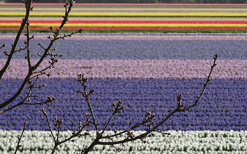 Bunte Blumenfelder hinter Baum in Holland