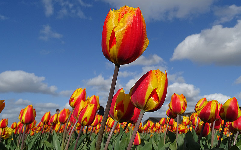 Orange Tulpen vor Himmel in Holland