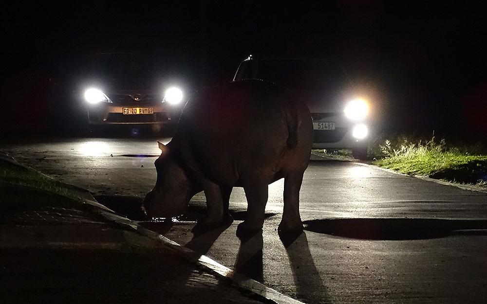 Hippo bei Nacht in St. Lucia