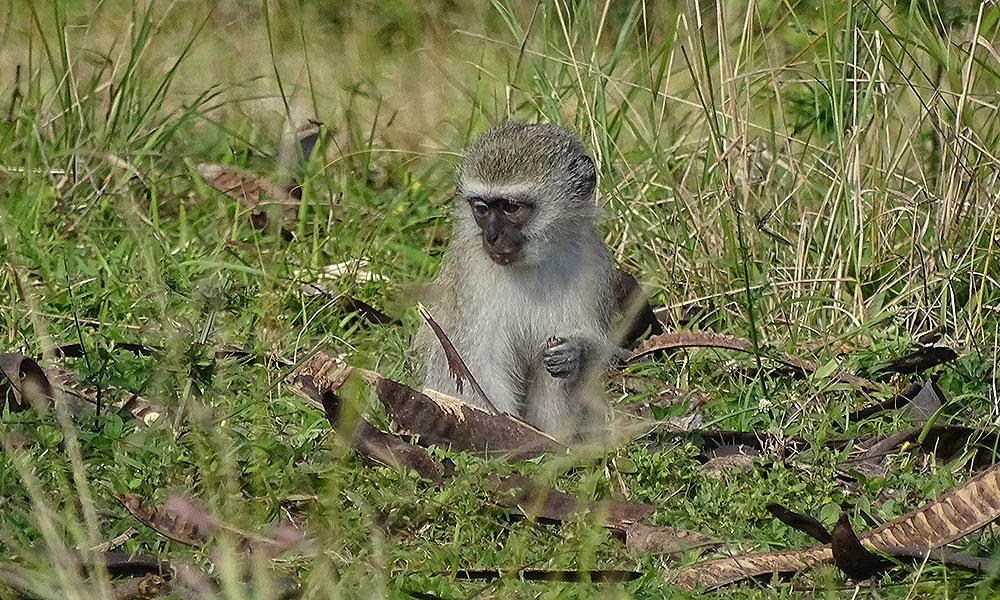 Kleiner Affe schaut entäuscht