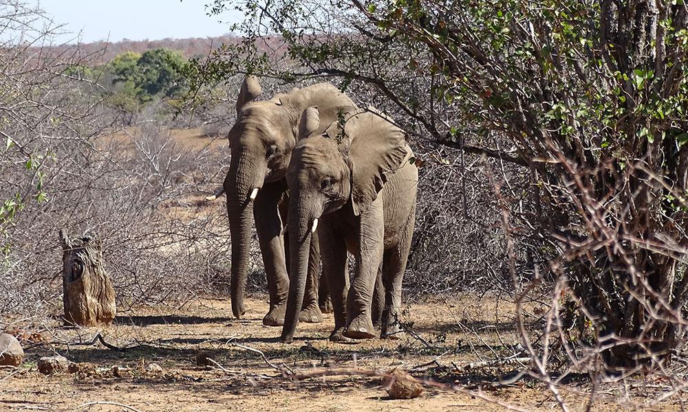 Zwei Elefanten im Krüger Park