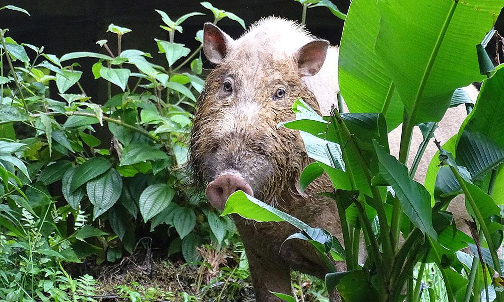 Bartschwein im Danum Valley in Borneo