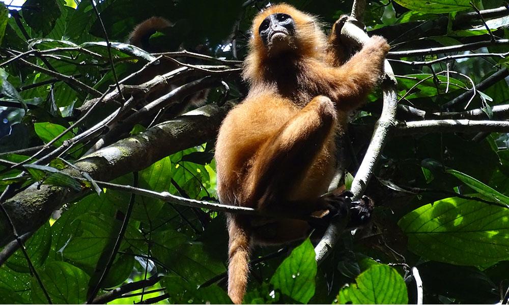 Red Leaf Monkey om Danum Valley in Borneo